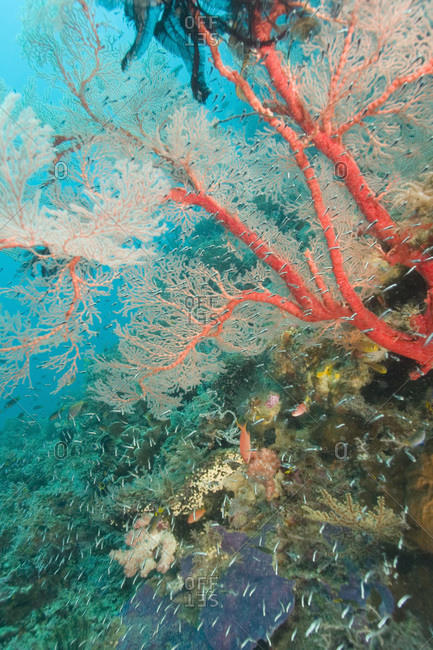 Colorful Sea Fan with attached crinoid, baby sweepers schooling