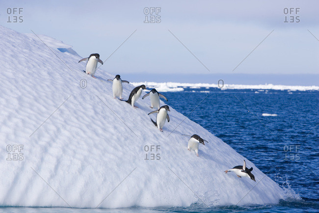 A group of adelie penguins follow the leader as they descend the steep face of an iceberg heading for the water