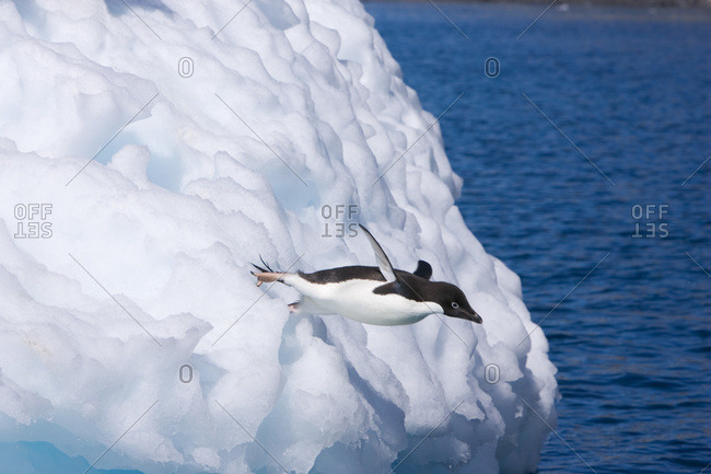 An adelie penguin dives off an iceberg into the Weddell Sea