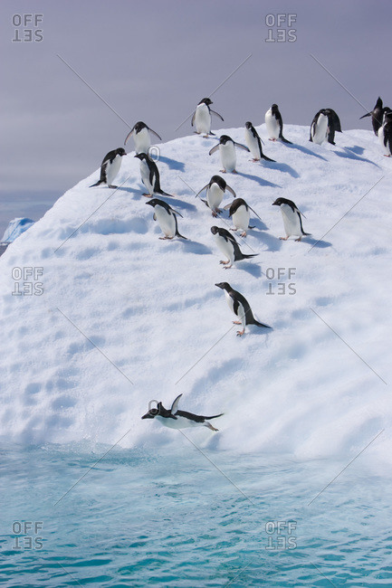 A group of adelie penguins follow the leader and jump off an iceberg