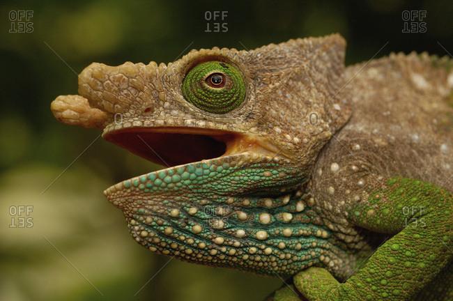 Oshaughnessyi Chameleon (Calumma Oshaughnessyi)