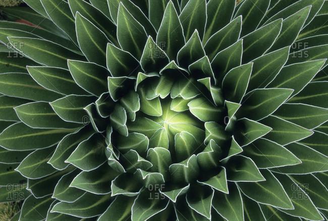 Close up of a Giant Lobelia (Lobelia deckenii keniensis)