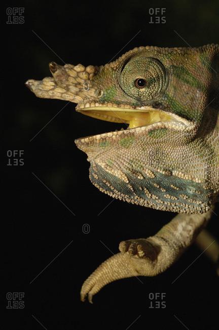 Baudrier's Chameleon (Furcifer balteatus)