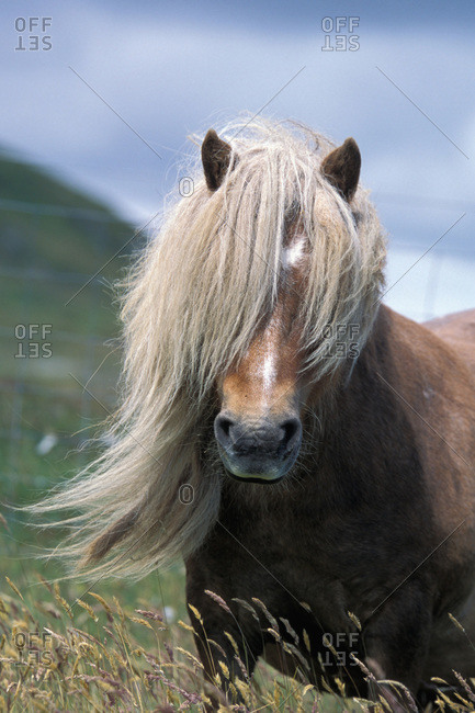Shetland pony stallion,the mane in face