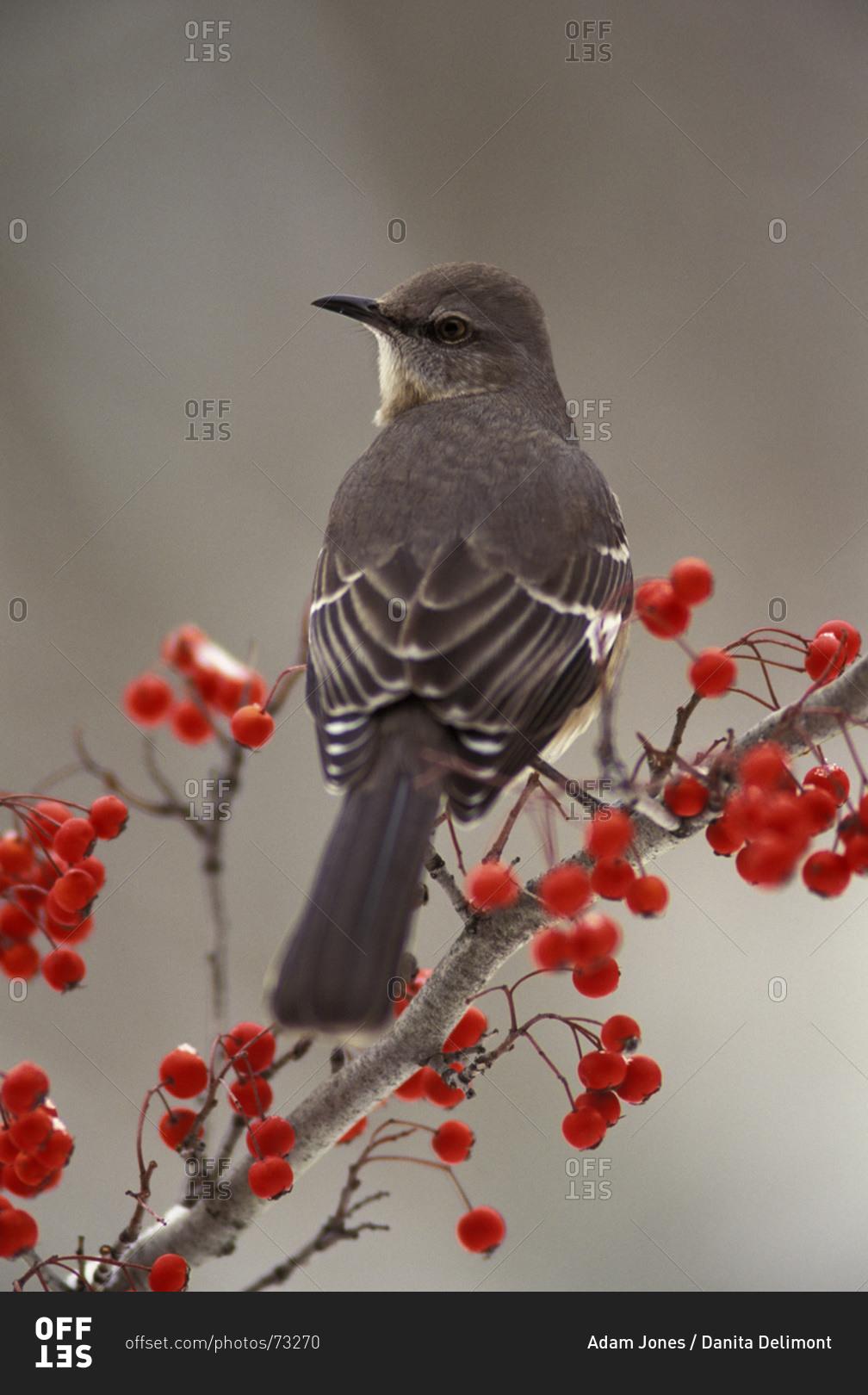 Mockingbird Among Hawthorn Berries Offset Stock Photo Offset