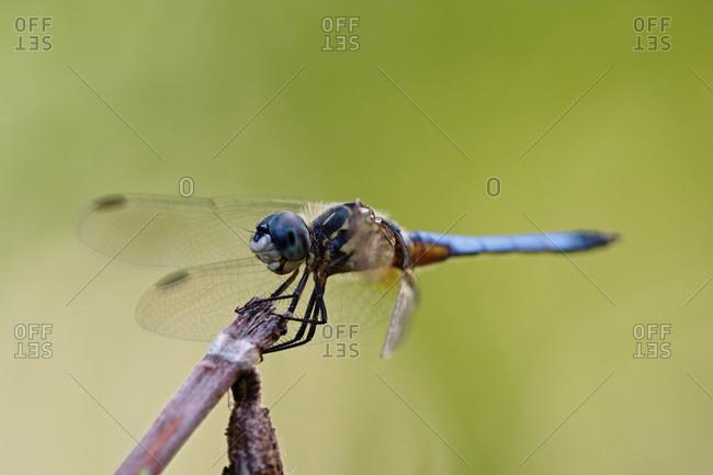 Swift Long-winged Skimmer,Pachydiplax longipennis