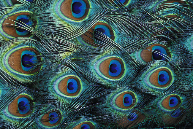 Pattern in male peacock feathers