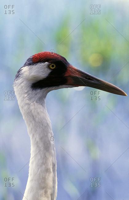 Adult Whooping Crane (Grus americana)