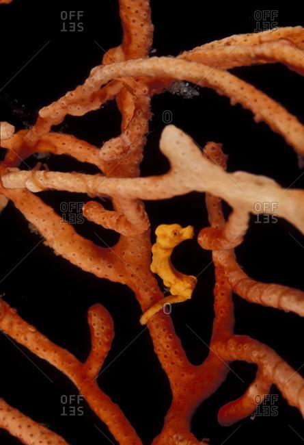 Pigmy seahorse on orgonian (Hippocampus bargabanti)