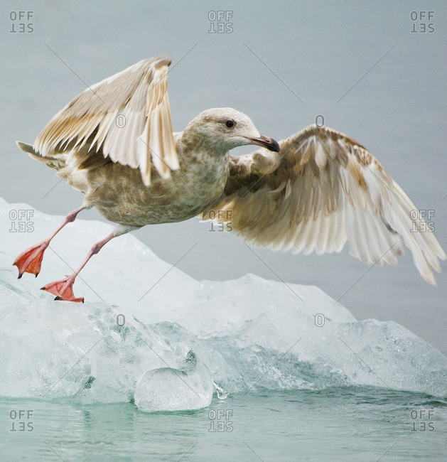 Close-up of immature gull taking off from ice floe.