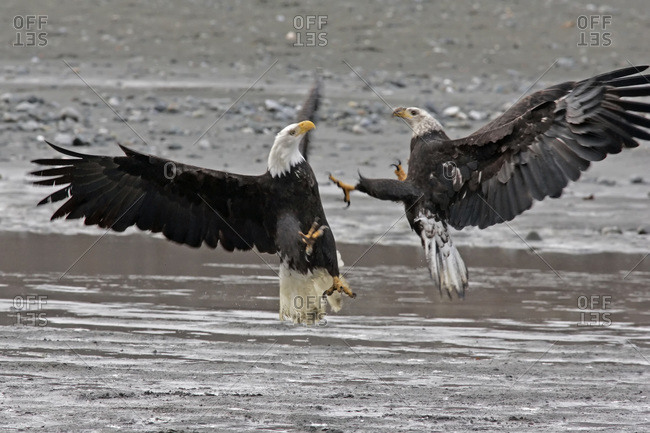 Two bald eagles fighting.