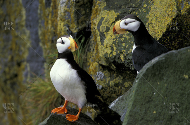 Horned puffins on the cliffs