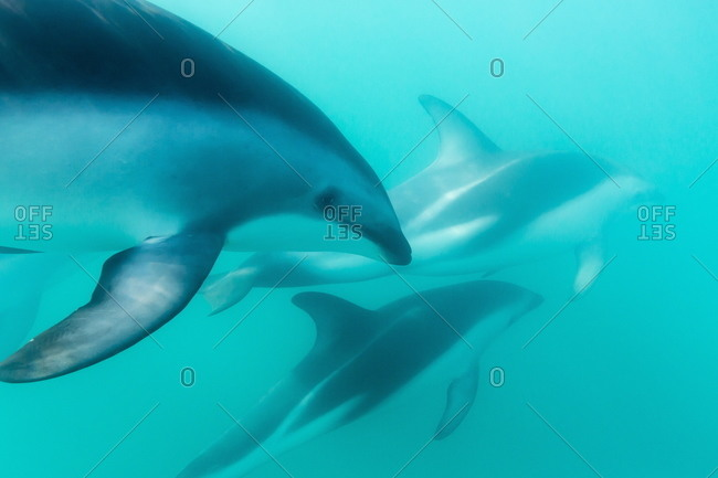 Underwater view of a dusky Dolphins