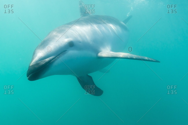 Underwater view of a dusky Dolphin