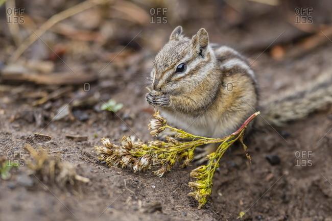 An adult golden-mantled ground squirrel  feeding
