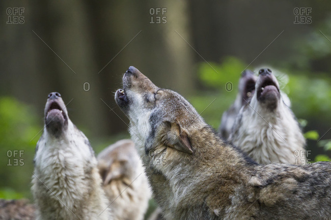 Howling gray wolves