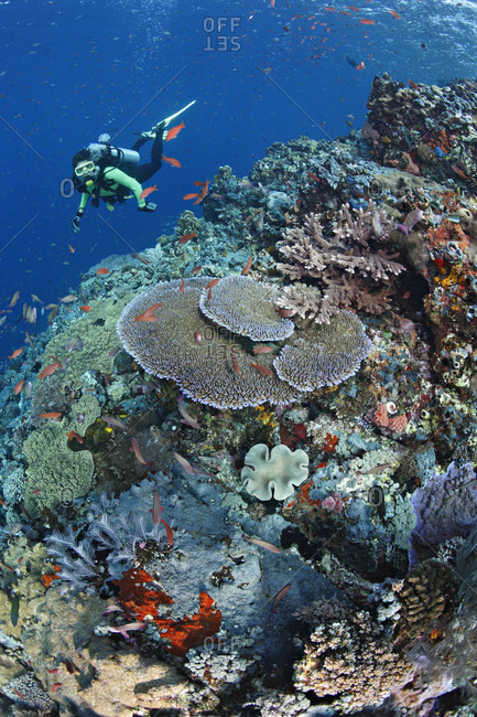 Scuba diver admires healthy coral reef with diversity of soft and hard corals and abundant fish life in tropical waters