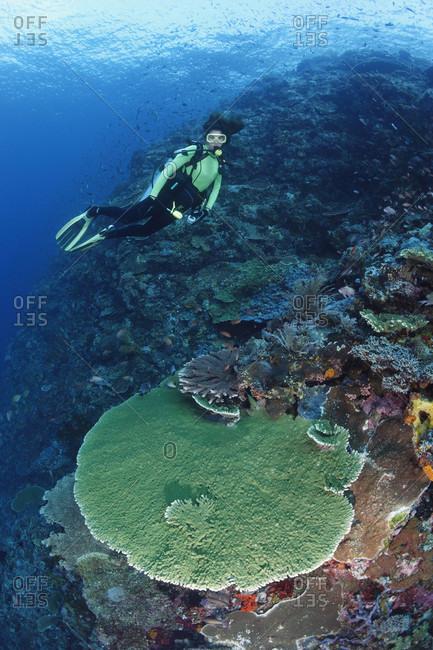 Scuba diver admires healthy coral reef, tropical Indo-Pacific Ocean region