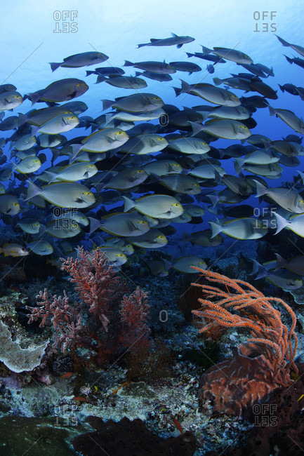Yellowmask Surgeonfish schooling along reef in tropical waters