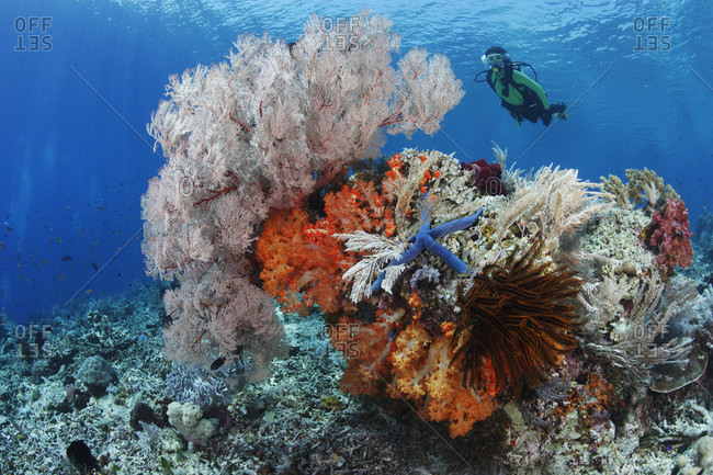 Scuba diver near colorful bommie on top of reef, draped in soft corals, sea fans, crinoids, and hydroids in tropical waters