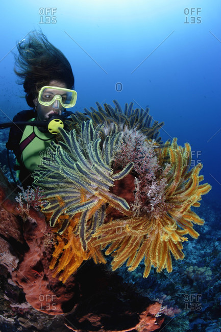 Scuba diver admires crinoids, also known as feather stars, on a healthy coral reef in tropical waters