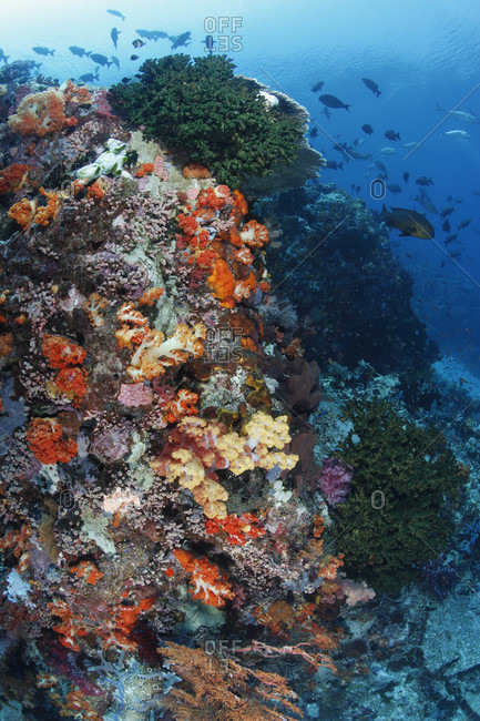 Soft corals, cup corals, and other invertebrates along current-swept wall in tropical waters