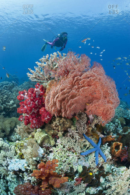 Shallow bommie covered in soft and hard corals, sea fans, sponges, tunicates and more, with scuba diver swimming behind