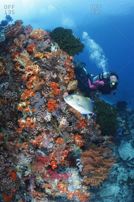 Scuba diver and Bluefin Jack swim along current-swept wall with soft corals, cup corals, and other invertebrates in tropical waters