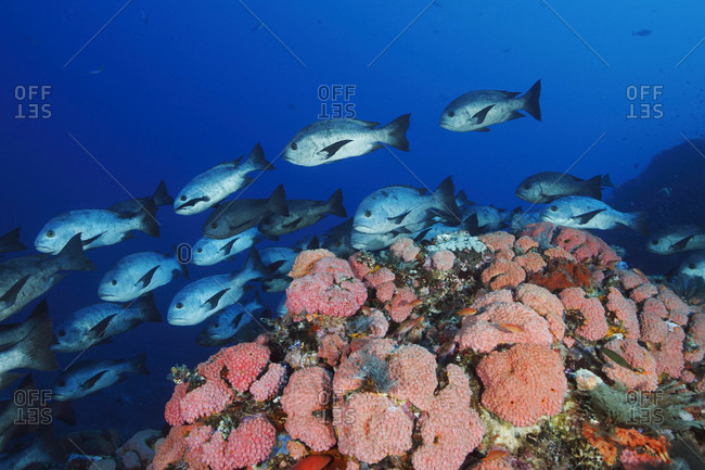 Black Snapper swimming over reef covered in cup corals in tropical waters