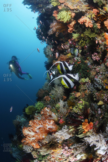 Scuba diver along reef wall busy with fish and covered in soft corals, sponges, crinoids, in tropical waters