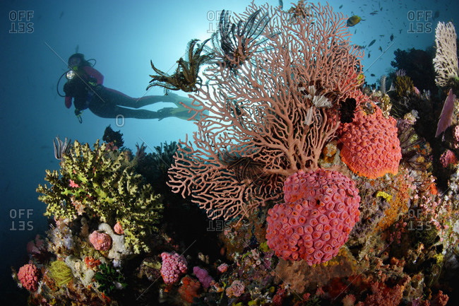 Scuba diver swims overtop rich coral reef, with sea fans, cup corals, crinoids, in tropical Indo-Pacific Ocean region