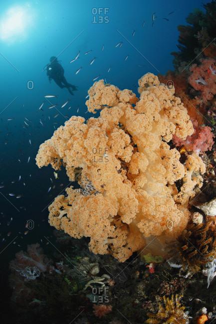 Soft corals and scuba diver in tropical Indo-Pacific Ocean region
