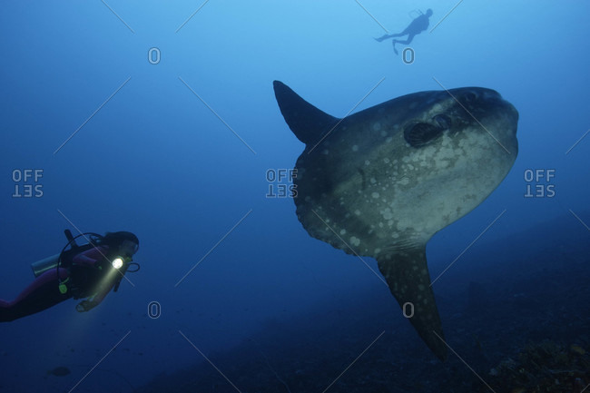 Ocean Sunfish and scuba diver in tropical waters