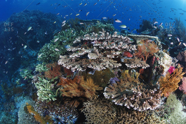 Coral reef and damselfish feeding in the current over branching hard corals and sea fans, tropical Indo-Pacific Ocean region