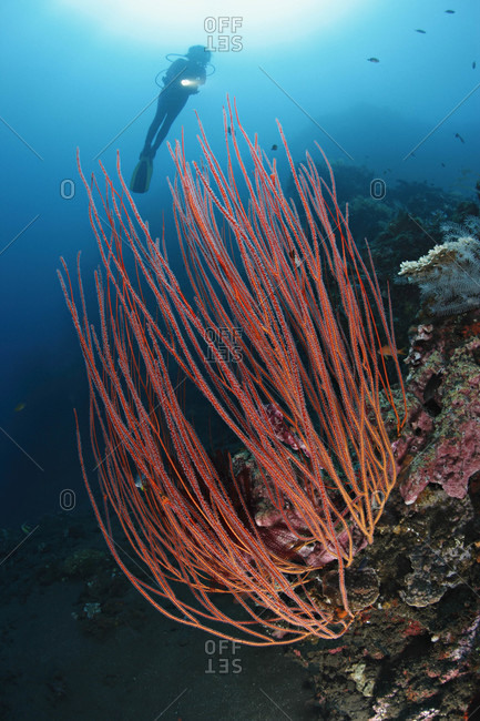 Scuba diver above Sea Whip Corals, tropical Indo-Pacific Ocean region