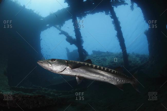 Great Barracuda inside remains of Liberty shipwreck, Bali, Indonesia