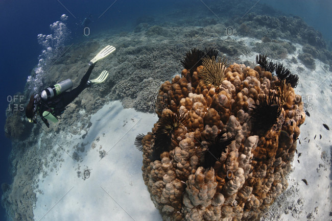 Scuba diver swims along coral reef, tropical Indo-Pacific Ocean region