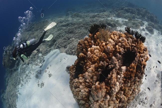 Scuba diver swims along coral reef, tropical Indo-Pacific Ocean region