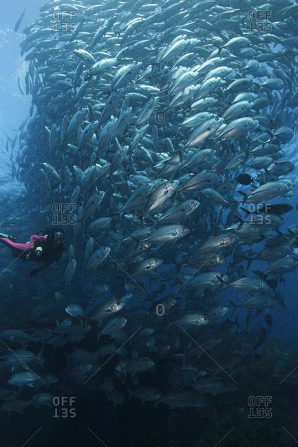 Bigeye Jacks schooling like a tornado about a scuba diver overtop the Liberty shipwreck, Bali, Indonesia