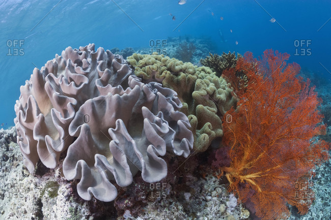 Mushroom Leather Corals and Knotted Sea Fan on top of shallow reef, tropical Indo-Pacific Ocean region
