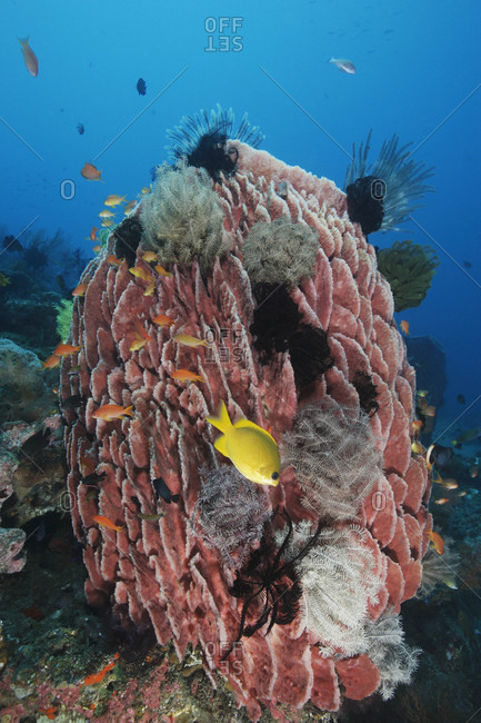 Barrel Sponge covered with crinoids, tropical Indo-Pacific Ocean region