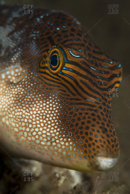 Close-up of underwater portrait of puffer fish, tropical Indo-Pacific Ocean region-