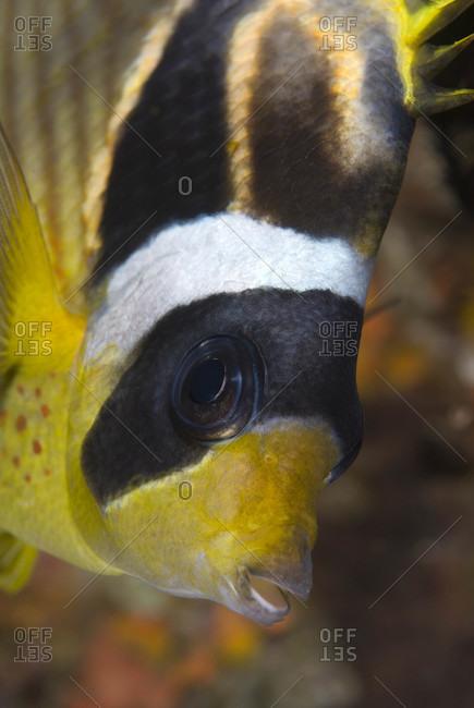 Raccoon Butterflyfish, tropical Indo-Pacific Ocean region