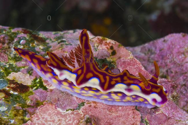 Magnificent Nudibranch sea slug, tropical western Pacific Ocean