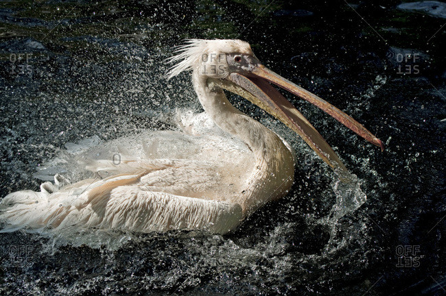 White Pelican swimming in water