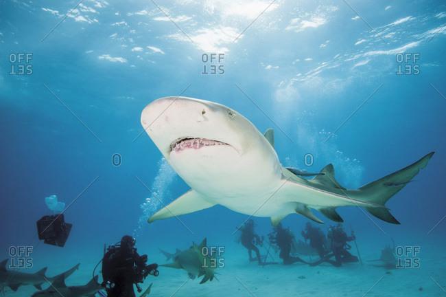 Lemon shark in Atlantic ocean, Bahamas