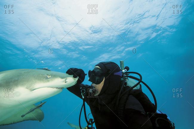 Diver playing with Atlantic lemon shark, Bahamas