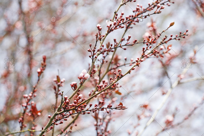 Blossoming tree, close up - Offset