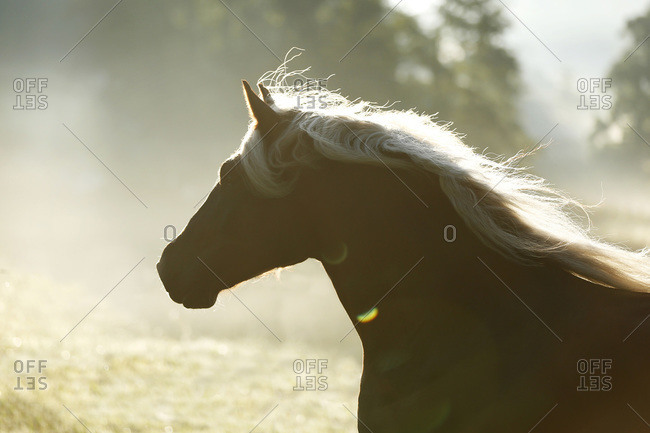Black forest horse,  Wuerttemberg, Baden, Germany