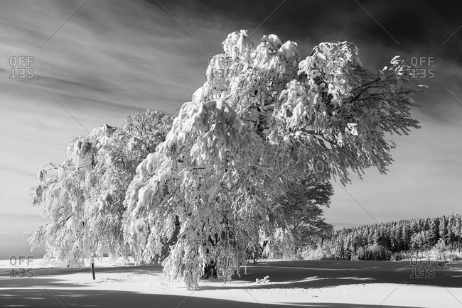 Wind bent beech trees in winter, Wuerttemberg, Baden, Germany